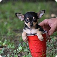 Adopt A Pet :: Topper - South Dennis, MA