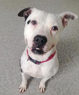 American Bulldog Mix Dog for adoption in Pompton Lakes, New Jersey - Emily