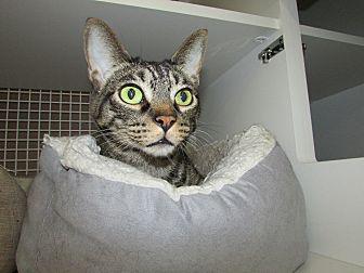 Domestic Shorthair Cat for adoption in Richmond, Virginia - Tigger