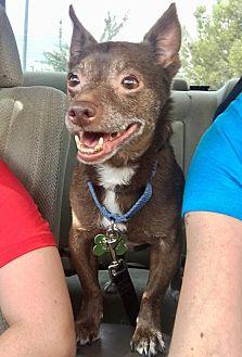 Chihuahua Mix Dog for adoption in Las Vegas, Nevada - Jojo