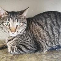 Adopt A Pet :: Henry - Fredericksburg, TX