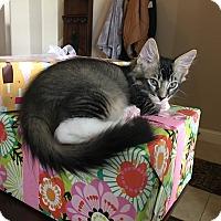 Adopt A Pet :: Leonard - Arlington/Ft Worth, TX