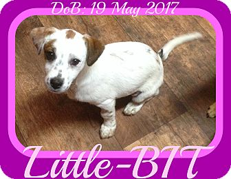 Brittany/Dachshund Mix Puppy for adoption in Jersey City, New Jersey - Little-BIT