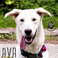 Adopt A Pet :: Ava - Cincinnati, OH