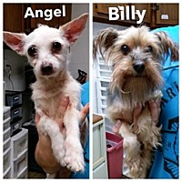 Adopt A Pet :: Angel & Billy - Bloomington, IL