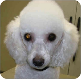 Poodle (Toy or Tea Cup) Dog for adoption in San Diego (all areas), California - Seymore-ADOPTED!