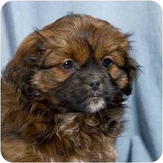 Yorkie, Yorkshire Terrier/Shih Tzu Mix Puppy for adoption in Anna, Illinois - AMADEUS