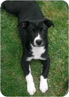 Labrador Retriever Mix Puppy for adoption in Exeter, New Hampshire - Delta