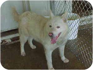 Husky Dog for adoption in Gladwin, Michigan - Freedom