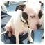 Photo 2 - American Bulldog Mix Dog for adoption in Troy, Michigan - Sweetie