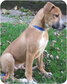 Australian Cattle Dog/Hound (Unknown Type) Mix Puppy for adoption in Mt. Prospect, Illinois - Mork