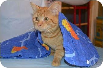 Domestic Shorthair Cat for adoption in Bedford, Virginia - Mulligan