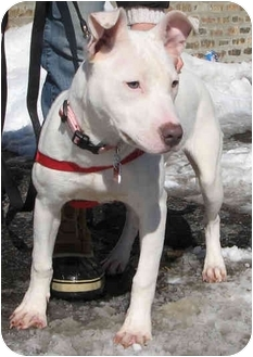 Pit Bull Terrier Mix Puppy for adoption in Chicago, Illinois - Scout