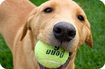 Labrador Retriever/Australian Cattle Dog Mix Puppy for adoption in Meridian, Idaho - Austin
