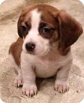 Basset Hound/Dachshund Mix Puppy for adoption in Chicago, Illinois - Paisley