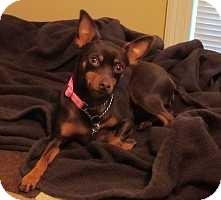 Miniature Pinscher Dog for adoption in Nashville, Tennessee - Jemma