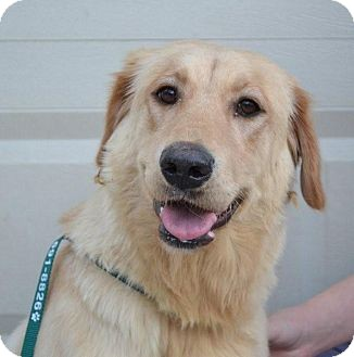 Golden Retriever/Labrador Retriever Mix Dog for adoption in White River Junction, Vermont - Summit