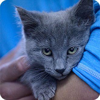 Domestic Shorthair Kitten for adoption in Stillwater, Oklahoma - Demi