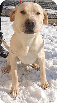 Labrador Retriever Mix Dog for adoption in Trenton, New Jersey - Rocky