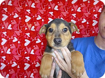 German Shepherd Dog Mix Puppy for adoption in Oviedo, Florida - Reeves