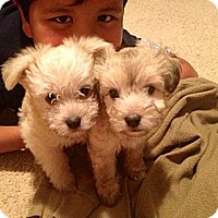 Adopt A Pet :: Luke Skywalker - Huntington Beach, CA