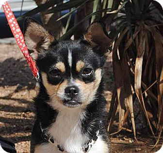 Chihuahua Mix Dog for adoption in Weatherford, Texas - Benji