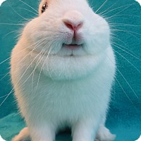 Adopt A Pet :: Smiley Bunny - Los Angeles, CA