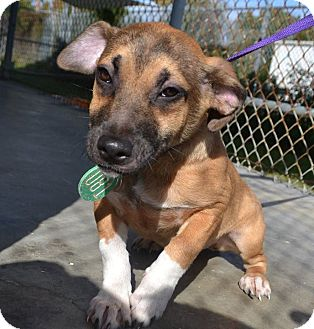 Hound (Unknown Type)/Corgi Mix Puppy for adoption in Beaumont, Texas - April