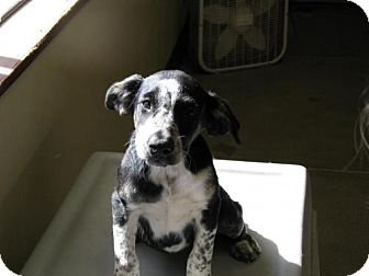 Border Collie Mix Puppy for adoption in Orland, California - Speckles