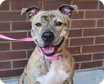 Pit Bull Terrier Mix Dog for adoption in Charlotte, North Carolina - Sway