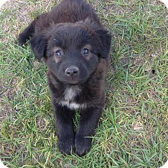 Border Collie Mix Puppy for adoption in Blountstown, Florida - Nadia