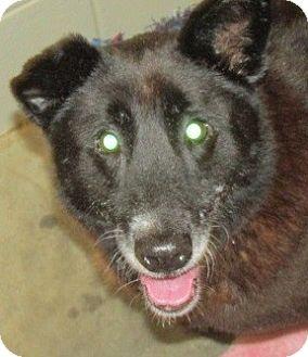 Sheltie, Shetland Sheepdog Mix Dog for adoption in Aiken, South Carolina - MARINA