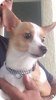 Chihuahua Mix Puppy for adoption in Sacramento, California - Trudy
