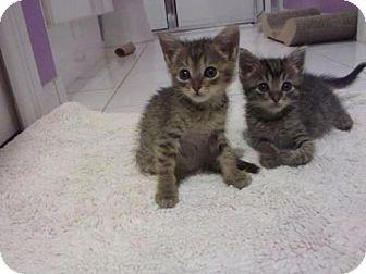 American Shorthair Kitten for adoption in Tallahassee, Florida - Juliana