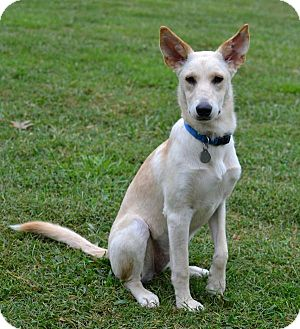 German Shepherd Dog Mix Dog for adoption in Nashville, Tennessee - Blanca