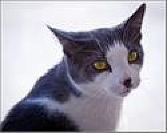 Domestic Shorthair Cat for adoption in Freeport, New York - Barry