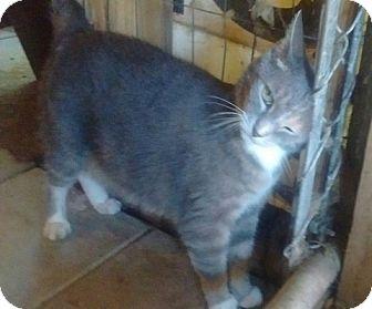 Domestic Shorthair Cat for adoption in Charlotte, North Carolina - Simba