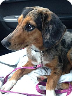 Beagle/Australian Shepherd Mix Dog for adoption in Florence, Kentucky - Sadie