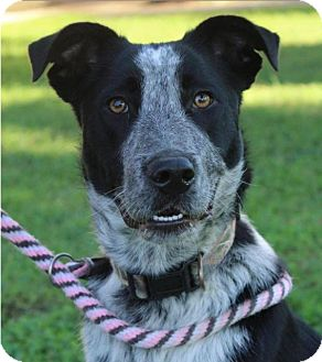 Border Collie/Australian Cattle Dog Mix Dog for adoption in Red Bluff, California - JUNE BUG