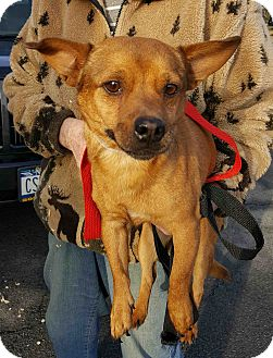 Chihuahua Mix Dog for adoption in Loudonville, New York - Turkey