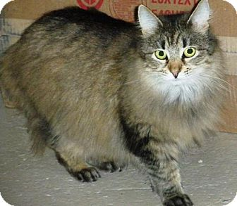Maine Coon Cat for adoption in Washington, Virginia - Amelia