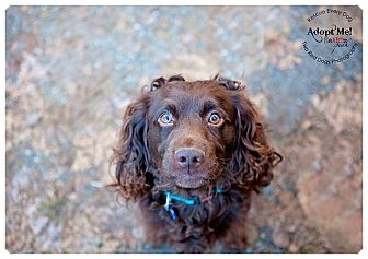 Boykin Spaniel/Field Spaniel Mix Dog for adoption in Seattle c/o Kingston 98346/ Washington State, Washington - Babar