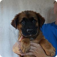 Adopt A Pet :: Jagger - Oviedo, FL