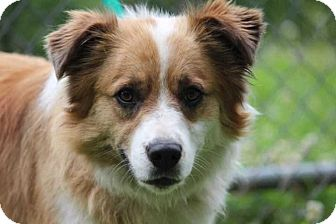 Collie Mix Dog for adoption in Washington, D.C. - Sadie (Needs Foster/Has Application)
