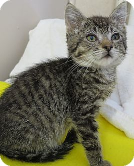 Domestic Shorthair Kitten for adoption in Chino Valley, Arizona - Sprout