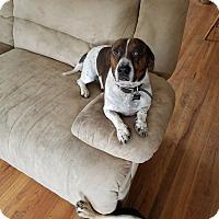 Dachshund/American Bulldog Mix Dog for adoption in Colorado Springs, Colorado - Brody