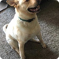 Akita/Labrador Retriever Mix Dog for adoption in Bellingham, Washington - Kona
