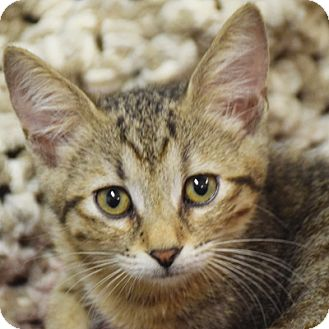 Domestic Shorthair Kitten for adoption in Huntley, Illinois - Miami