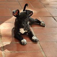 Adopt A Pet :: Eugene - San Antonio, TX