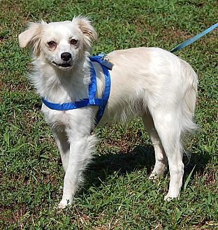 Spitz (Unknown Type, Small)/Terrier (Unknown Type, Small) Mix Dog for adoption in Williamsport, Maryland - Doodle(14 lb) New Pics & Video